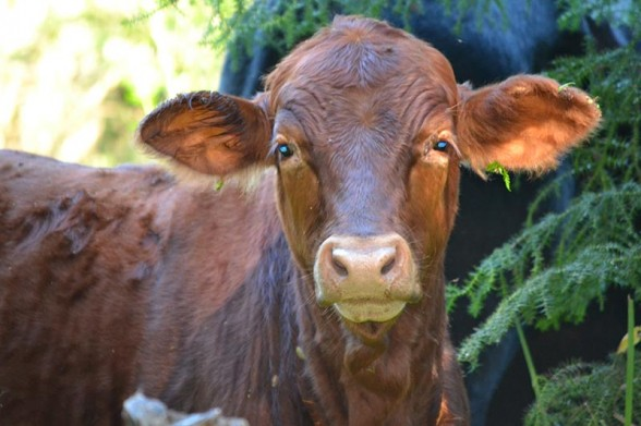 Borumba Deer Park - Borumba Beef