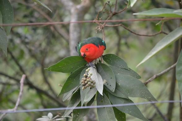 Amamoor Creek - King Parrot