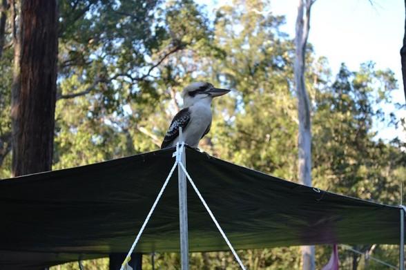 Amamoor Creek - Kookaburra
