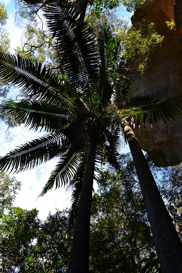 Cania Gorge - Massive Palms