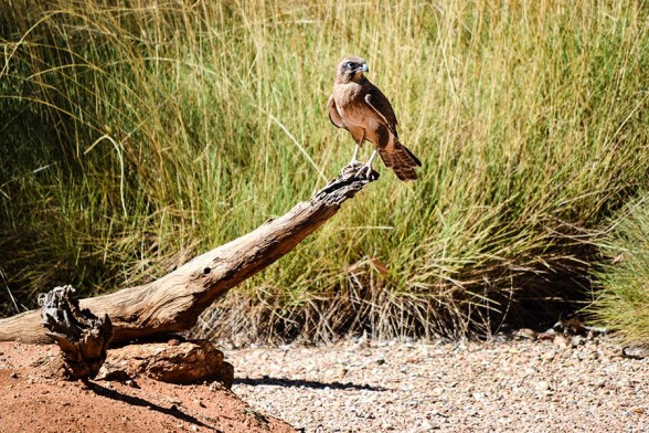 Alice Springs, Desert Park, Brown Hawk