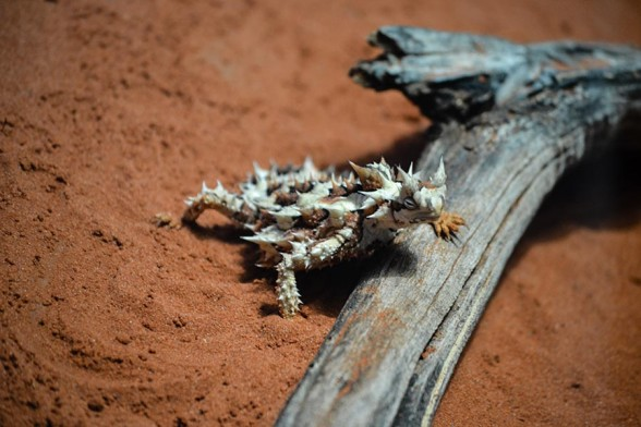 Alice Springs, Desert Park, Thorny Devil