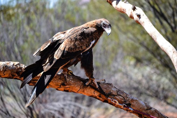 Alice Springs, Desert Park, Wedgetail Eagle