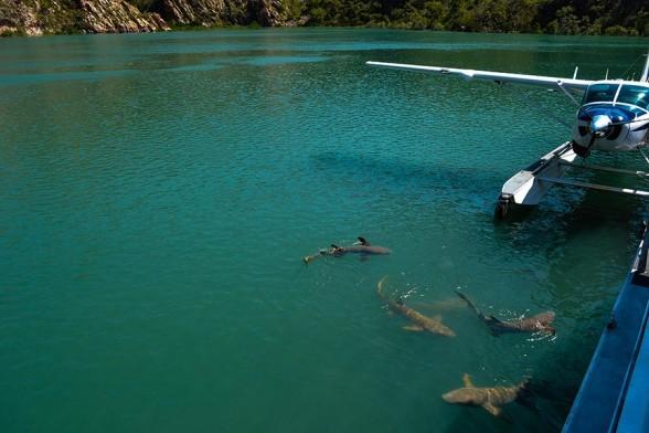 Horizontal Falls, Shark feeding